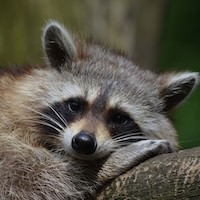 keeping-raccoons-away-from-feeders